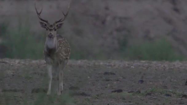 n strakaté jelen lesa