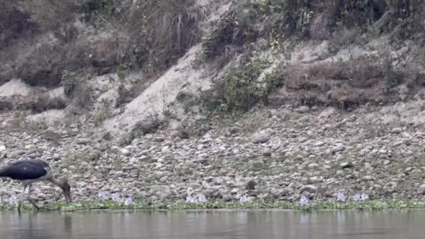 Čáp Marabu jíst ryby v jezírku