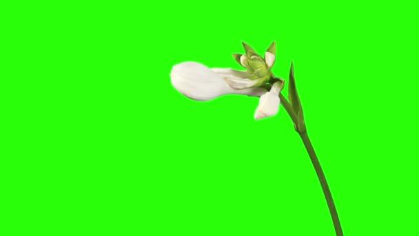 Blooming white hosta flower buds green screen, FULL HD. (Hosta. Bressingham Blue), timelapse
