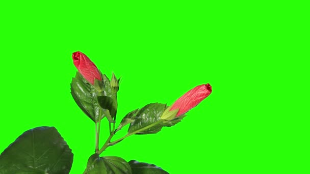 Blooming red Hibiscus flower buds green screen, FULL HD. (Hibiscus Porto) (Time Lapse)