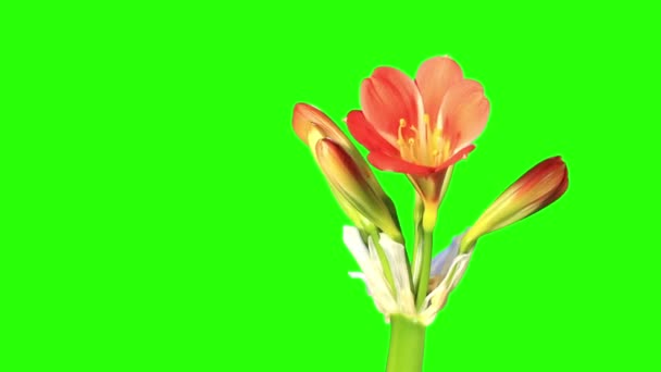 Growth of Clivia flower buds green screen, FULL HD. (Clivia miniata) (Time Lapse)