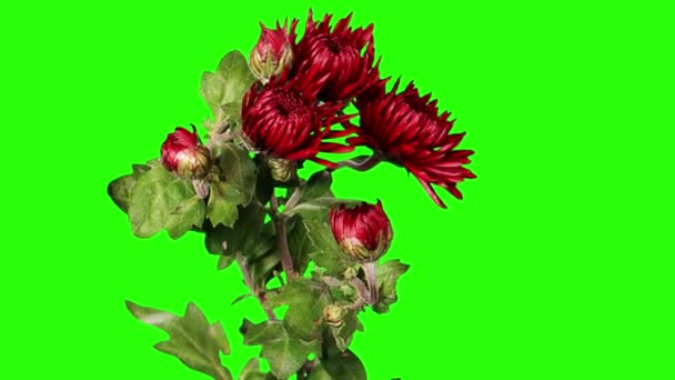 Blooming red chrysanthemum flower buds green screen, Full HD
