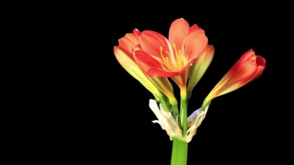 clivia virág bimbók alfa Matt, teljes hd. (clivia miniata) növekedése (idő telik el)