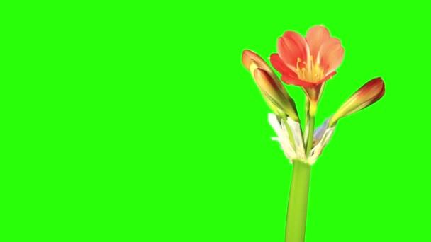 Növekedése Clivia virág rügyek zöld képernyő, FULL HD. (Clivia miniata) (Időeltolódás))
