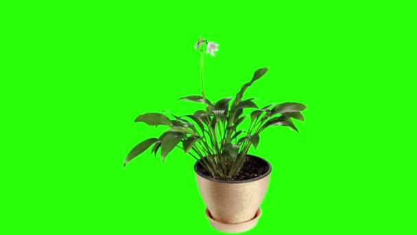 Kvete fialovými Bohyška poupata zelená obrazovka, Full Hd