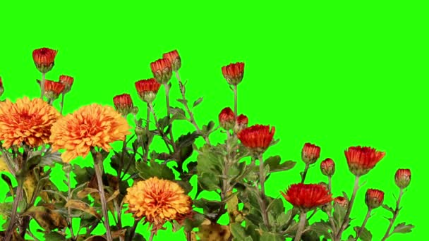 Blooming orange chrysanthemum flower buds green screen, Full HD
