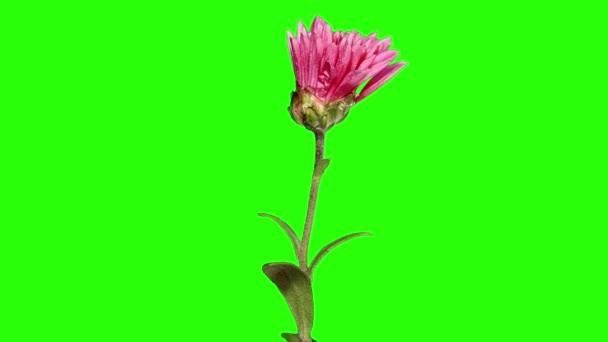 Virágzó lila krizantém zöld bimbó képernyő, Full Hd