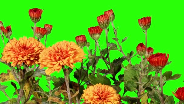 Blooming orange chrysanthemum flower buds green screen, Full HD