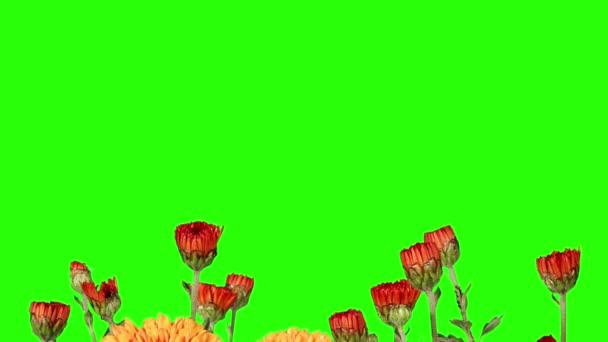 Kvetoucí oranžové chryzantéma poupata zelená obrazovka, Full Hd