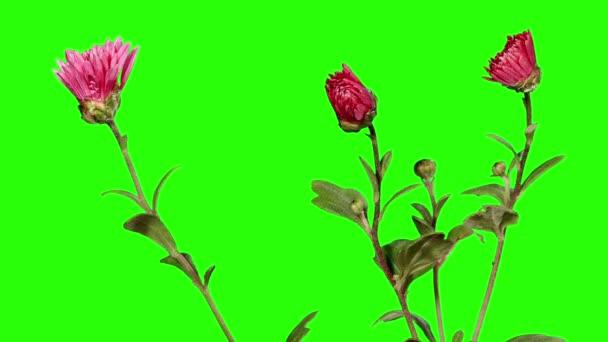 Blooming violet chrysanthemum flower buds green screen, Full HD