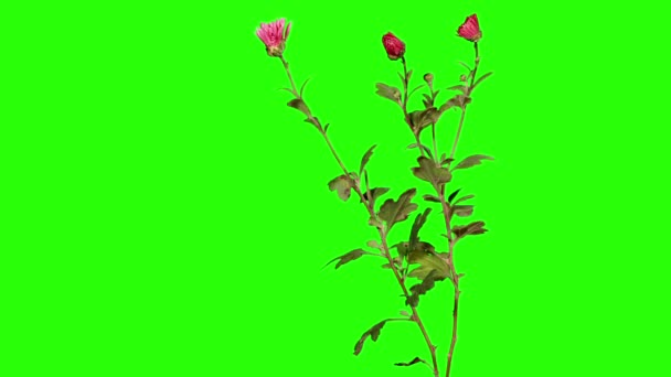 Blooming violet chrysanthemum flower buds green screen, Full HD
