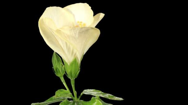 Virágzó Hibiszkusz virág bimbók alfa mattfehér, Full Hd