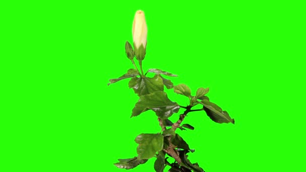 Virágzó fehér Hibiszkusz virág bimbók zöld képernyő, Full Hd