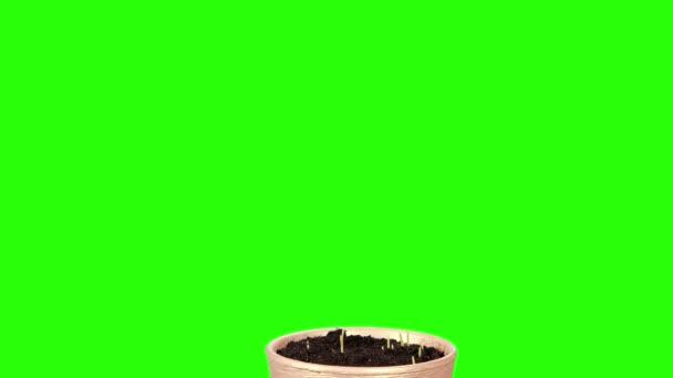 Grass growing in a pot green screen. Full HD, (Triticum L.). timelapse