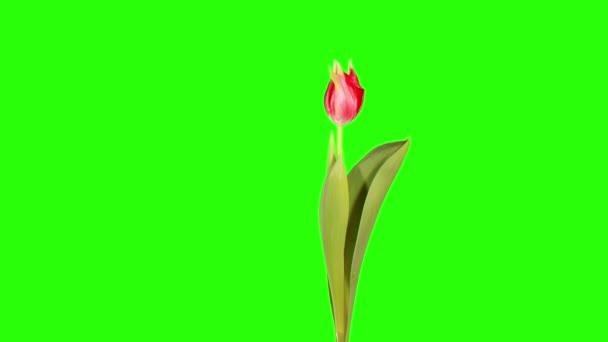 Červený Tulipán květ poupata zelená obrazovka, Full Hd (Tulipa Pretty Woman)