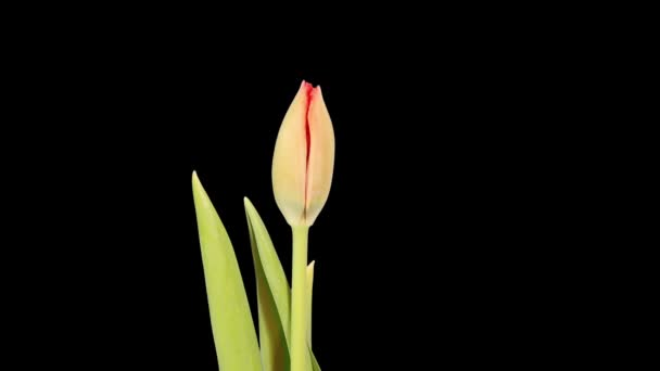 Red tulip bloom buds ALPHA matte, FULL HD (Tulipa Madison Garden)