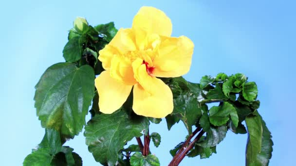 Blooming yellow Hibiscus flower buds blue screen, (Hibiscus Valencia), FULL HD. (Time Lapse)
