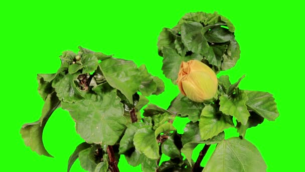 Blooming yellow Hibiscus flower buds green screen, (Hibiscus Valencia), FULL HD. (Time Lapse)