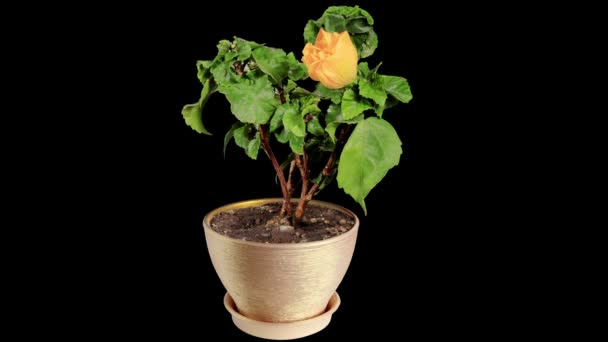 Blooming yellow Hibiscus flower buds ALPHA matte, (Hibiscus Valencia), FULL HD. (Time Lapse)