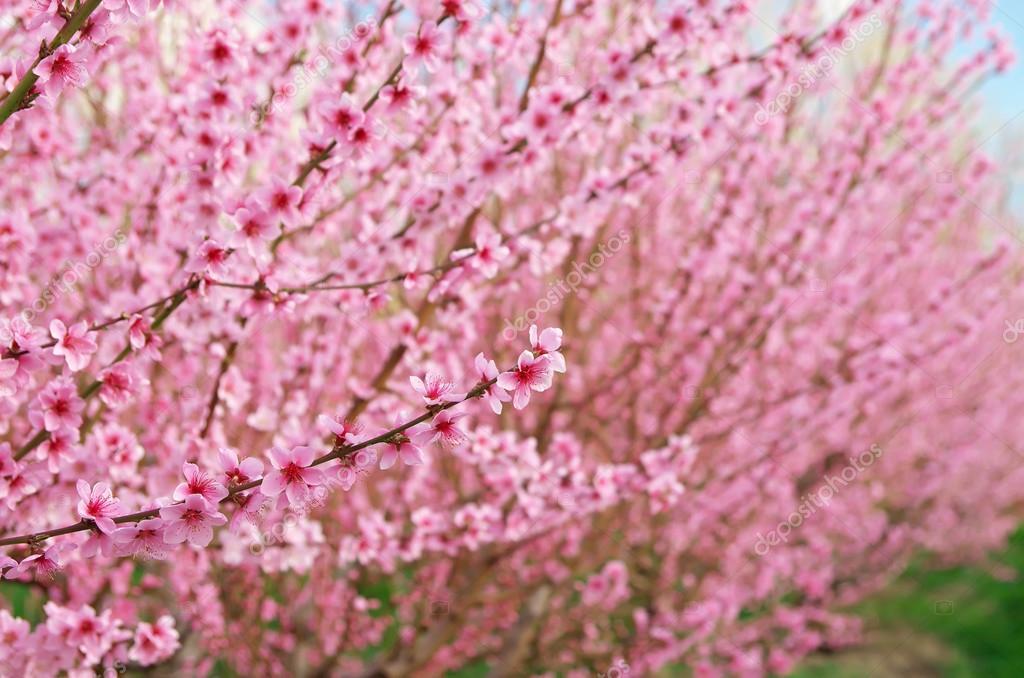 Branch of spring peach flower