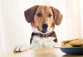 Beagle štěně a soubory cookie