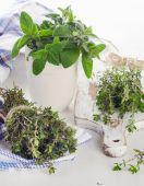 Fotografie Fresh herbs - thyme and oregano