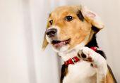 Roztomilé štěně Beagle doma