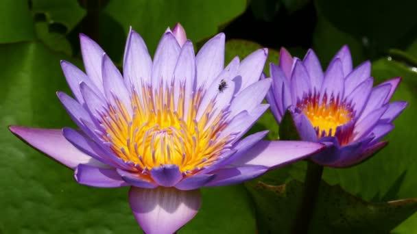Asian Lotus Flowers Stock Video Kokhanchikov 72046267