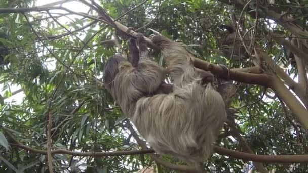 Roztomilý lenochod brown-throated procházení na stromě