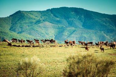 Herd of Goats in Spain