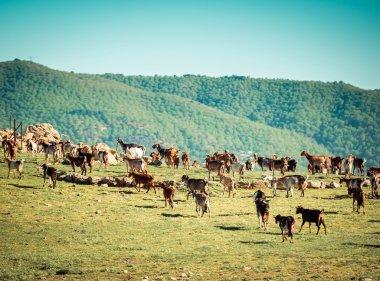 Herd of Goats Grazing  in Spain