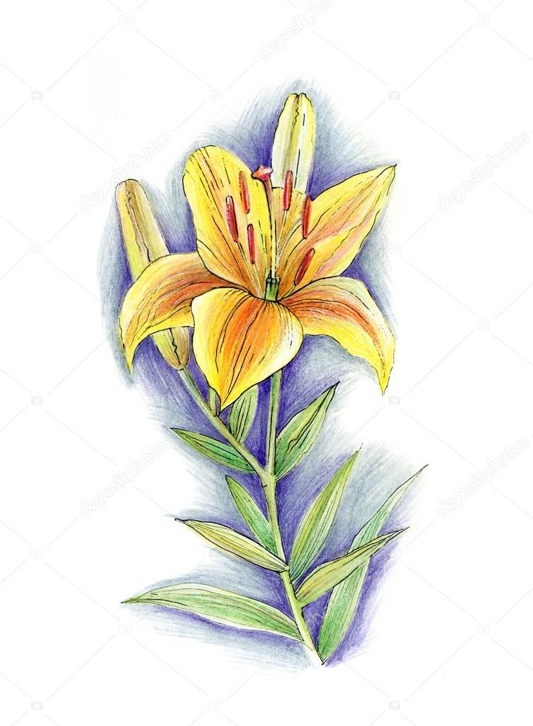 Картинки цветы лилии нарисованные