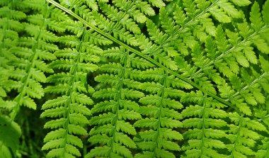 Leaf of green fern