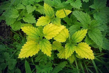 Green stinging nettle (urtica dioica)