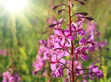Wild flower of Willow-herb with sunlight