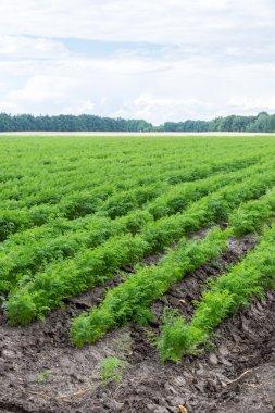 Carrots growing on field