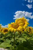 Pole slunečnice na Ukrajině