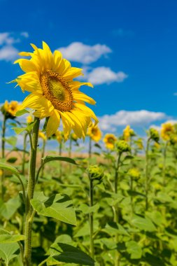 Blooming field of sunflowers on blue sky stock vector