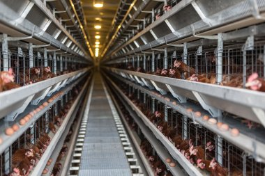 Laying hens on a poultry factory