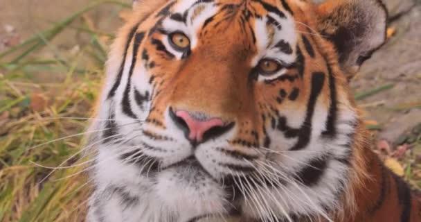 Szibériai tigris közelről. A szibériai tigris is is nevezték Amur tigris, mandzsúriai tigris, koreai tigris, és Ussurian tigris, attól függően, hogy a régió, ahol az egyének megfigyelték.