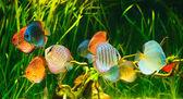 Photo Symphysodon discus
