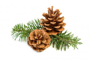pine cones with branch