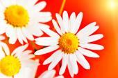Daisy heřmánkový květ makro