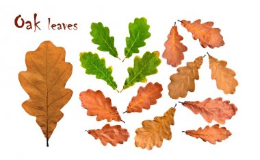 Oak fall and green leaves collection. Sharp and clean, large size stock vector