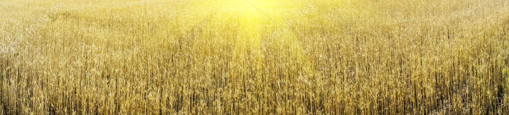 Golden wheat and sunbeams early morning by summer.
