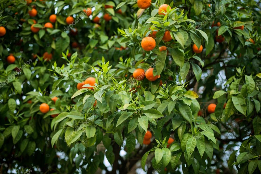 ripe oranges on the tree, citrus tree