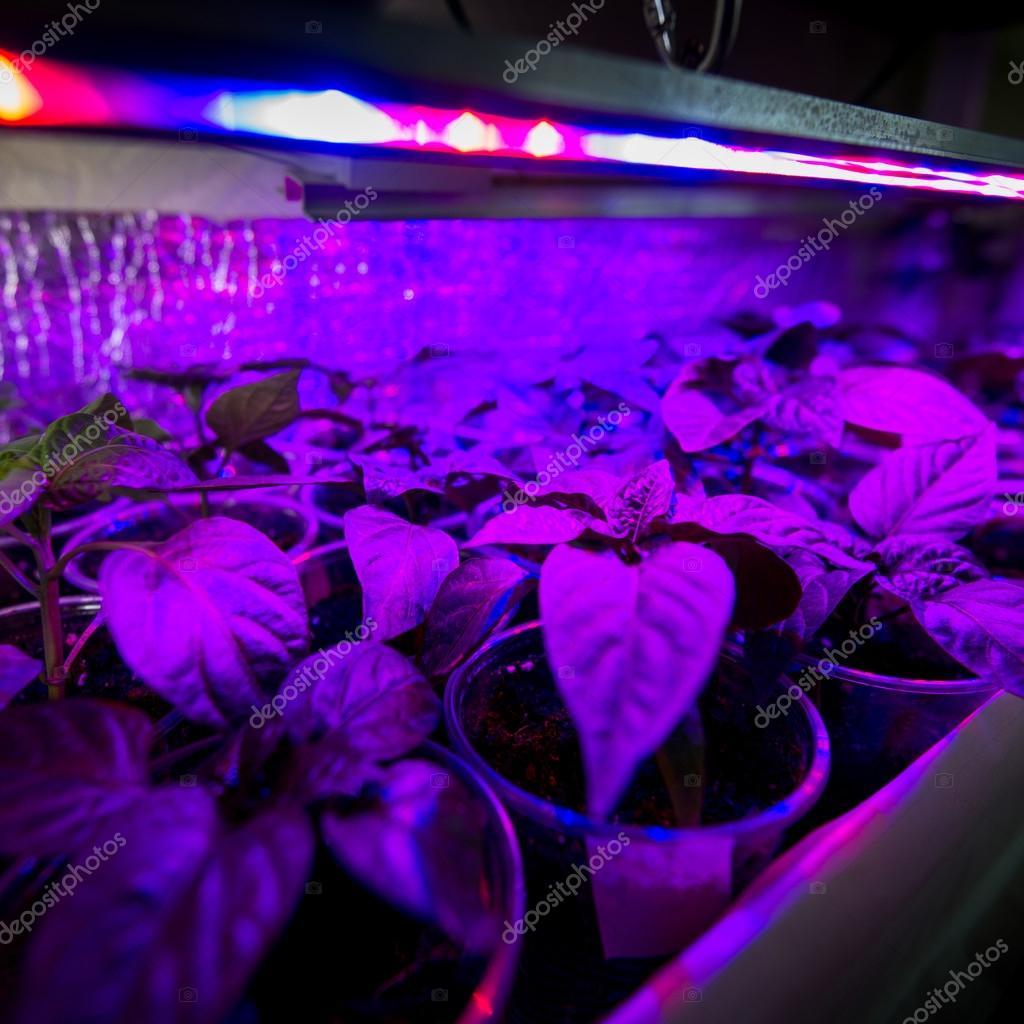 LED verlichting groeien planten — Stockfoto © Yarygin #71956525