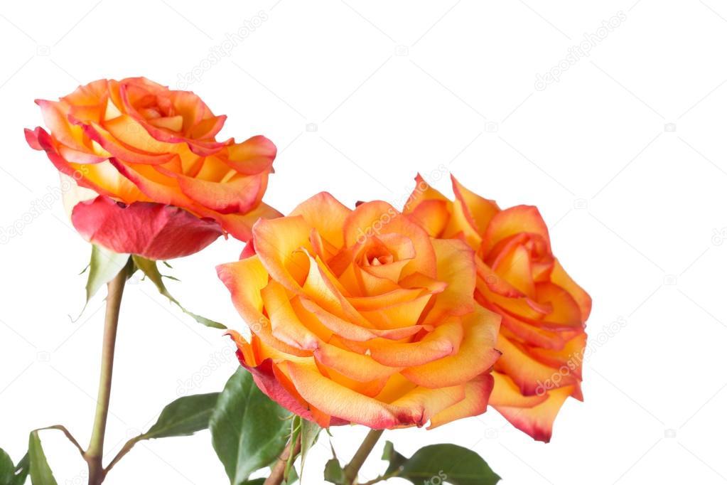 Três Rosas Amarelas Com Uma Borda Vermelha Stock Photo Lenorlux