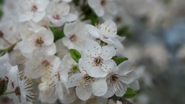 tavasszal, virágzás, cseresznye fa a kertben