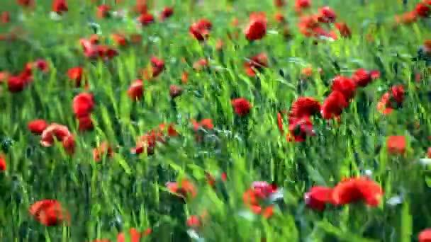 červené Vlčí máky v poli